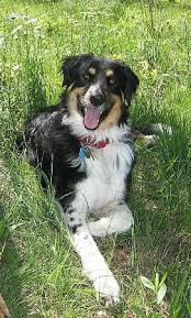australian shepherd vocal anybody know about australian sheppards how much toy breeder