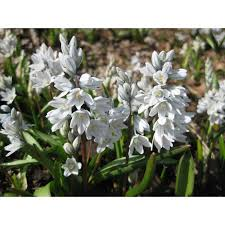 10 x puschkinia scilloides libanotica bulbs russian snowdrops