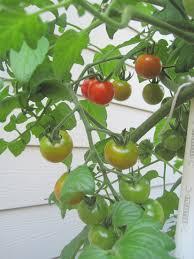 ripening tomatoes u2013 natural greenscapes