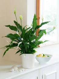 Green Plants Best Kitchen Plants Plants For Kitchen To Decorate It Balcony