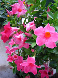 panoramio photo of mandevilla dipladenia