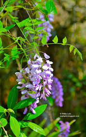 wisteria sinensis australian bush flower wisteria blueberries and blackberries phillip u0027s natural world