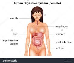 Images Female Anatomy Female Digestive System Diagram Female Anatomy Archives Page 19