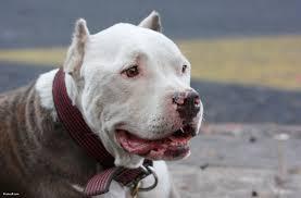 american pitbull terrier traits pit bull education doo n go