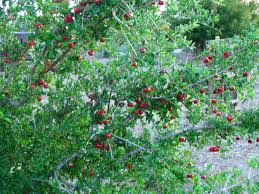 australian native screening plants acerola cherry florida sweet malpighia emarginata