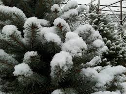 christmas tree production u2013 jason wilkinson nursery
