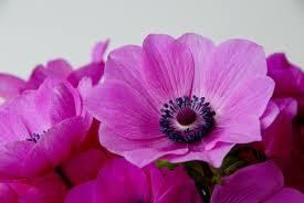 anemone de caen sylphide dutchgrown
