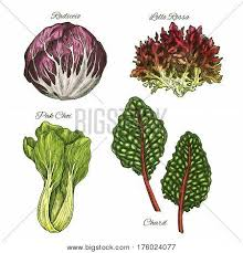 chard images illustrations vectors chard stock photos u0026 images