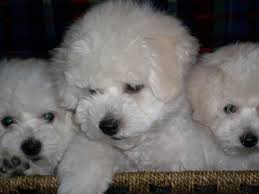 bichon frise 17 years old bestow bichons bichon frise puppies for sale