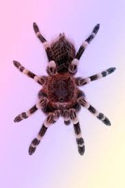 10 most poisonous spiders on earth fringed ornamental tarantula