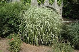 cabaret maiden grass miscanthus sinensis cabaret at chalet
