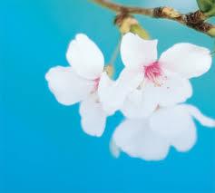 cherry blossom pics international cherry blossom festival macon ga