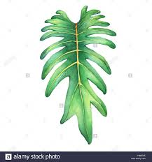 tropical green leaf of philodendron xanadu plant hand drawn stock