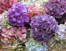Hydrangea by Hydrangea The Colors In The Blooms Are So Pretty And Will Stay