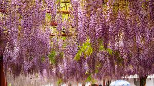 spring flowers series wisteria trellis it is a genus of
