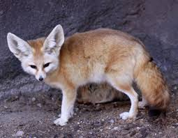 wild and domesticated pet fennec foxes everything fox