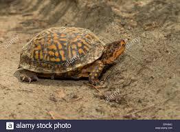 female eastern box turtle crossing a sand road in the pine barrens