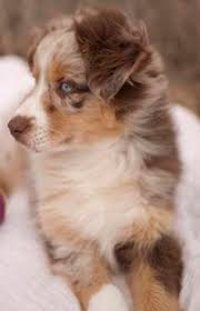 australian shepherd dachshund australian shepards puppies pinterest aussie puppies so
