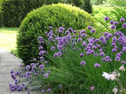 small area of planting alliums against buxus in cottage garden www