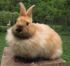how to pluck an angora rabbit u2013 life in booger holler