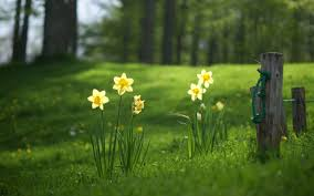 awesome daffodil hd wallpaper free download