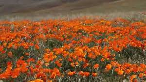 california poppies beautiful orange flowers in southern