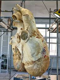 Whale by How Scientists Preserved A 440 Pound Blue Whale Heart Wired