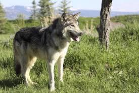 australian shepherd wolf german shepherd wolf cross bread