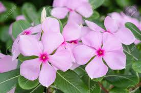 vinca flower beautiful pink vinca flowers madagascar periwinkle stock photo
