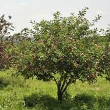 cherry trees from stark bros cherry trees for sale