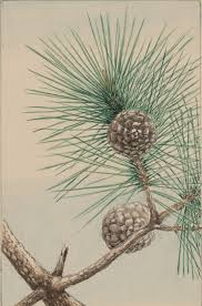 pine tree cone needles free stock photo domain pictures