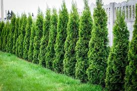 wonderful green giant arborvitae hedge u2014 farmhouse design and