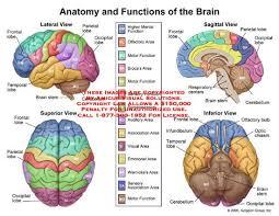 Role Of Brain Stem Best 25 Lobes Of Brain Ideas On Pinterest Brain Lobes Brain