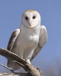 barn owl audubon field guide