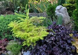 317 best conifers images on landscaping gardening and