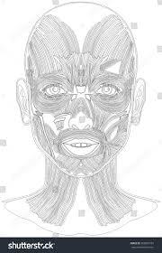 human face muscles anatomy line art stock vector 565881769