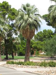 mexican fan palm growth rate plants flowers american cotton palm