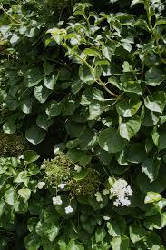 garden climbing hydrangea shade hydrangea hydrangea vines