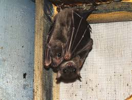 bats for sale pet bats for sale thinking about buying a pet bat then you need