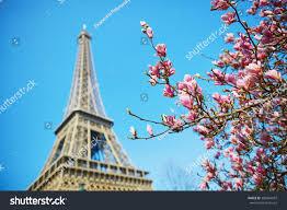 Beautiful Eiffel Tower by Beautiful Pink Magnolia Paris Near Eiffel Stock Photo 389964937
