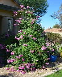 plant of the month pink trumpet vine or podranea water use it