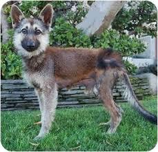 australian shepherd for sale los angeles loki von zwer dwarf shepherd adopted dog los angeles ca