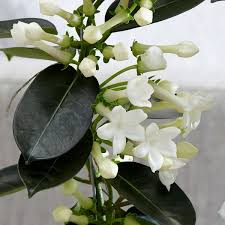 stephanotis flower buy stephanotis stephanotis floribunda delivery by crocus