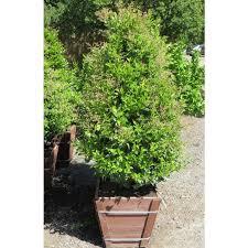 ligustrum japonicum texanum topiary poodle forms we grow