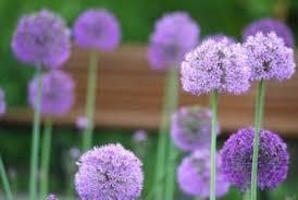 purple flowers purple flowers choosing the right flowers for your garden
