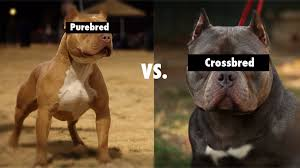 american pitbull terrier types purebred vs cross bred vs mixed breeds youtube