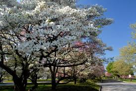 white flowering dogwood dogwood trees history facts and growing tips fast growing