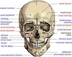 3d Head Anatomy Anatomy Of Head Bones Human Anatomy Head Anatomy Skull Anatomy 3d