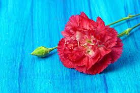 carnations flowers flower information