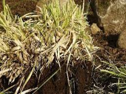 how to divide and propagate grasses and other perennial plants